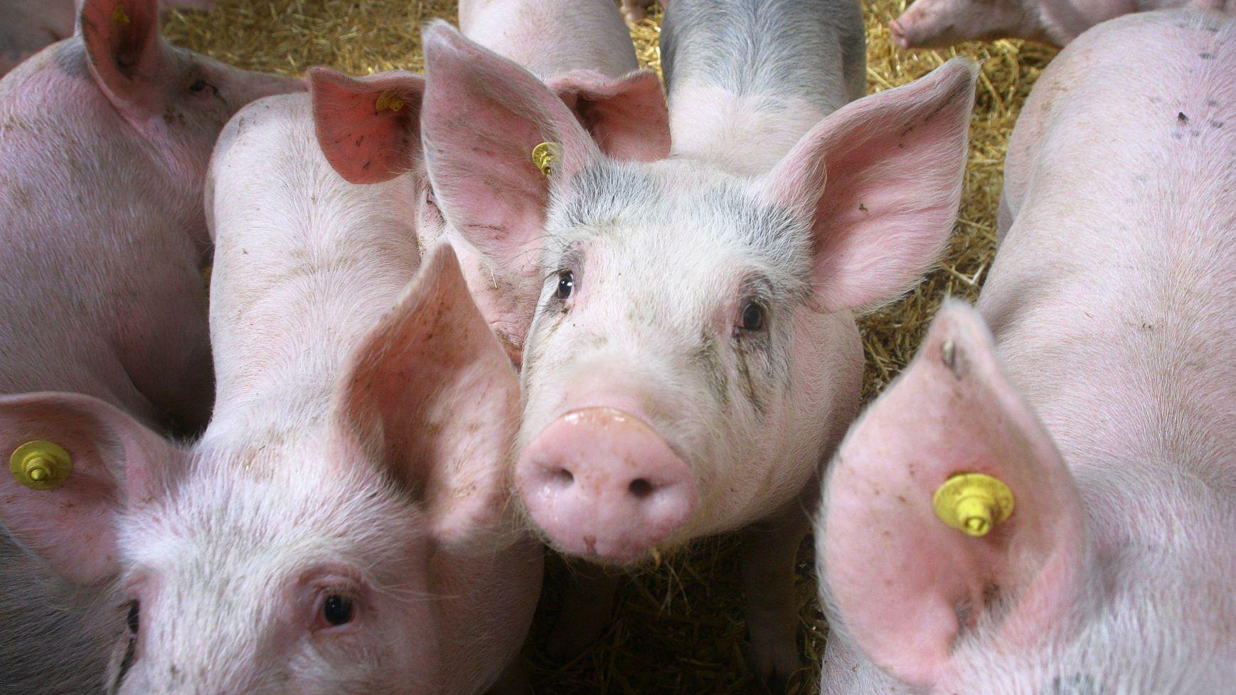 Weer gedoe over stalderingsbewijs varkenshouderij Lage Mierde