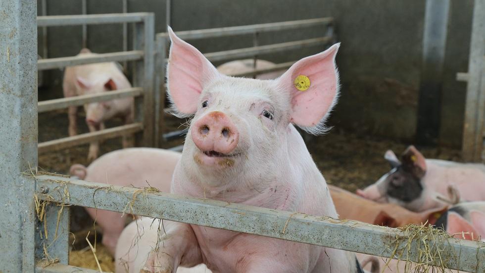 Schouten: Varkenshouderij goed op koers met verduurzaming